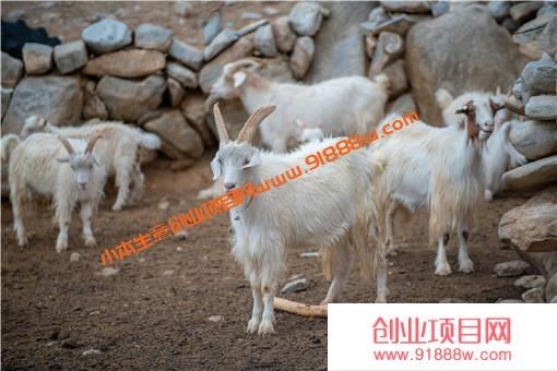 夏季圈养山羊注意事项有哪些?做好这4点,羊不生病还长膘!