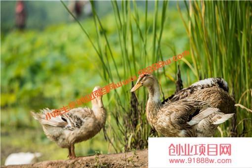 养鸭1000只利润和成本是多少?如何养鸭效益高?