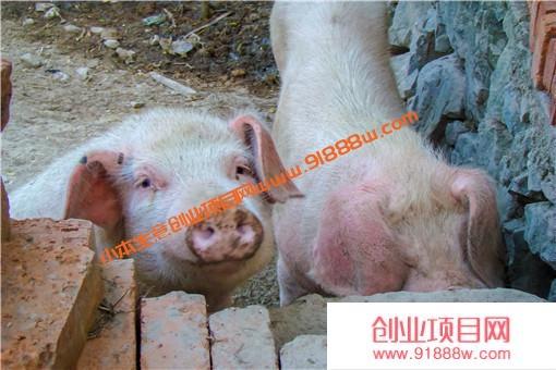母猪人工配种步骤是什么?附母猪配种前注意事项!