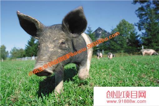 养猪怎么喂才长得快?附生猪催肥的窍门!